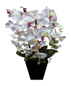 Large White and Pink Orchid in Tall Black Pot