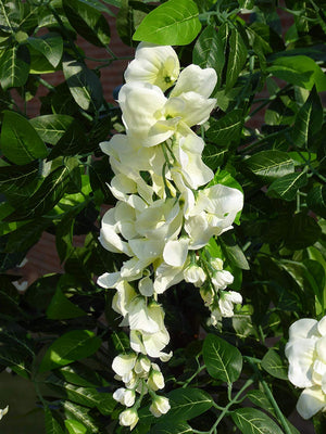 UK-Gardens 5ft Artificial Wisteria Tree With Flowers In A Pot - Artificial Potted Plants (White)