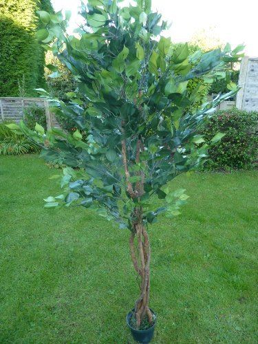 "6"" Ficus Tree with 1008 Leaves"