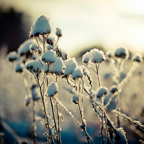 Garden Jobs for January - Image of snow on plants in garden