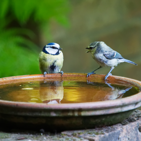 Two blue tits in a water bath, a water bath is one way to encourage wildlife in your garden