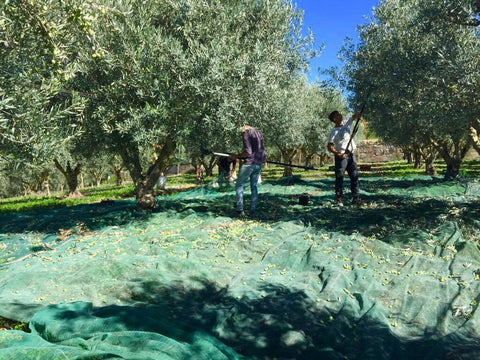 medEATerraneo Olive Harvest at the Farm of Olio Arkè in Sicily Italy. Premium Olives for High-End Cold Pressed Extra Virgin Olive Oil from Italy