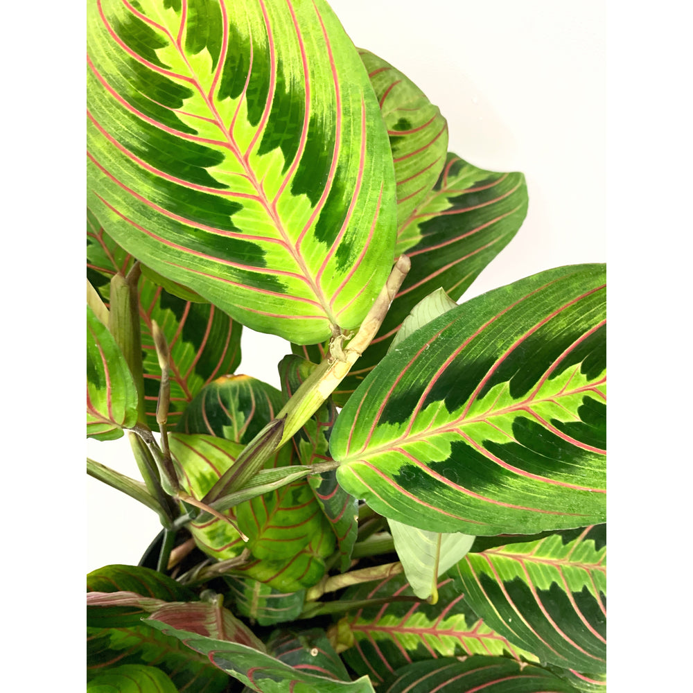 Prayer Plant - Las Selvas
