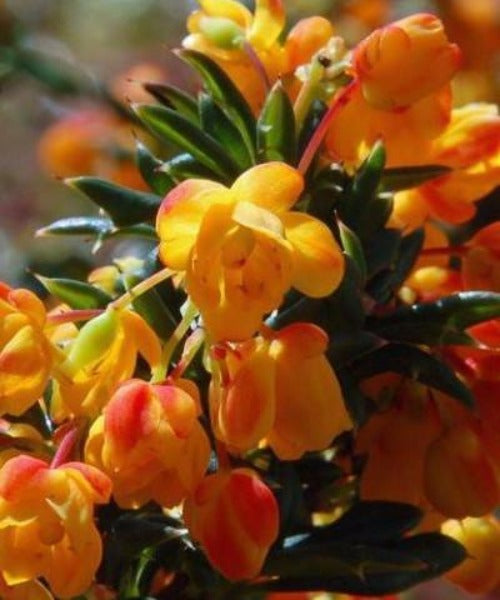 Barberry Shrubs - Berberis darwinii - Trees to Plant