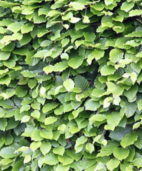 Beech Hedging - Fagus sylvatica - Trees by Post