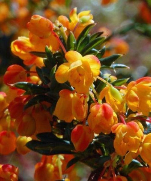 Barberry Shrubs - Berberis darwinii - Trees by Post