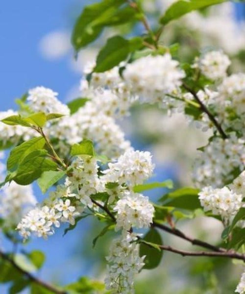 Bird Cherry Trees - Prunus padus - Trees by Post