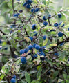 Blackthorn Trees - Prunus spinosa - Trees to Plant