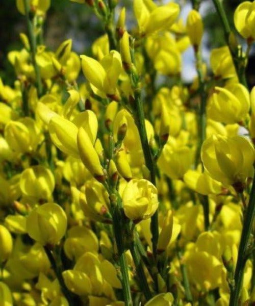 Broom Plants - Cytisus scoparius - Trees to Plant
