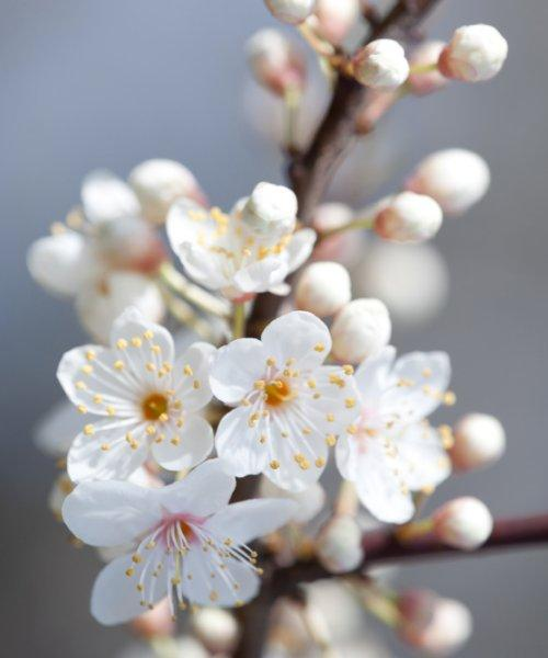 Cherry Plum Tree Gift - Trees to Plant