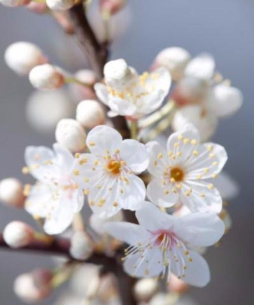 Cherry Plum Trees - Prunus cerasifera - Trees to Plant