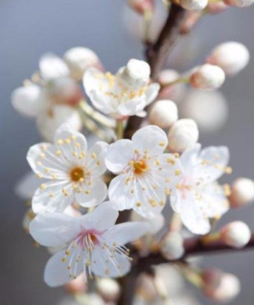Cherry Plum Trees - Prunus cerasifera - Trees by Post