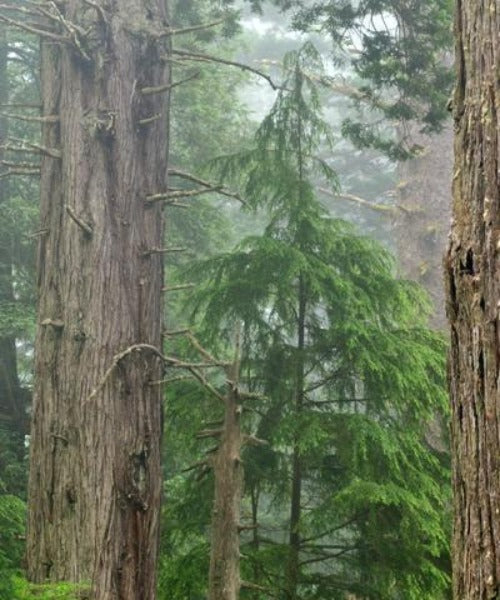 Coast Redwood Trees - Sequoia sempervirens - Trees by Post