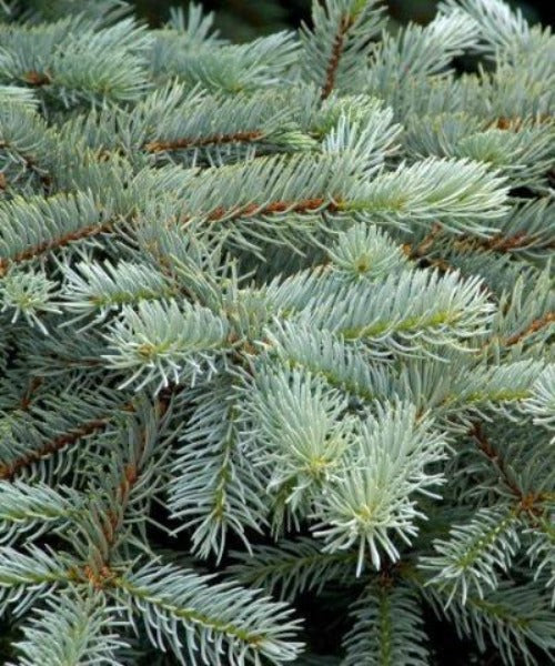 Blue Spruce Trees - Picea pungens - Trees by Post