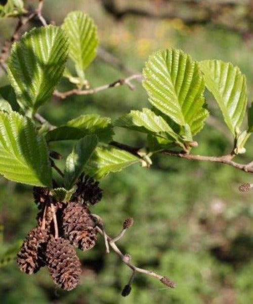 Common Alder Trees - Alnus glutinosa - Trees by Post
