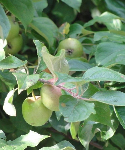 Crab Apple Favour - Trees by Post