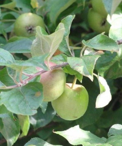 Crabapple Trees - Malus sylvestris - Trees to Plant