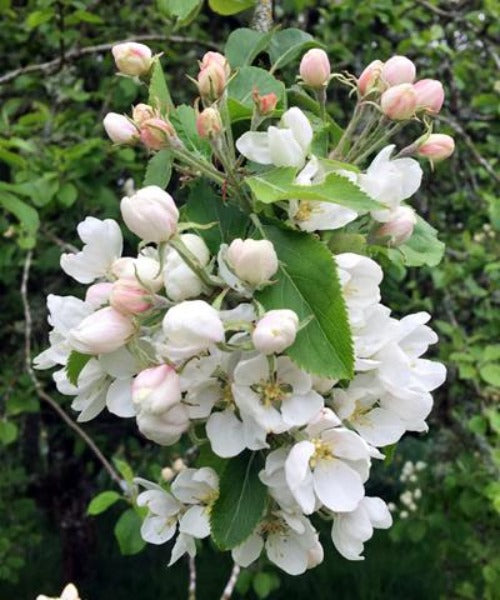 Crabapple Trees - Malus sylvestris - Trees by Post