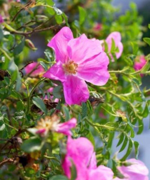 Dog Rose Shrubs - Rosa canina - Trees to Plant