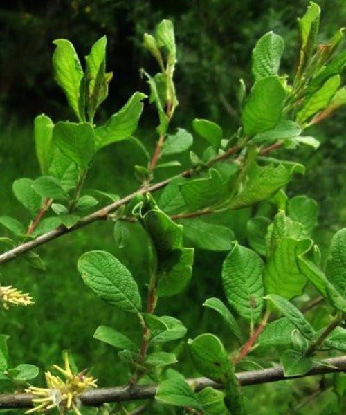 Eared Willow Trees - Salix aurita - Trees to Plant
