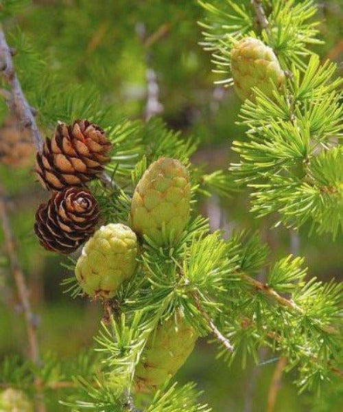 European Larch Trees - Larix decidua - Trees to Plant