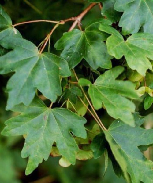 Field Maple Trees - Acer campestre - Trees by Post