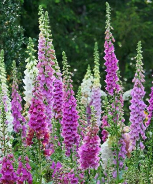 Foxglove - Digitalis purpurea - Trees to Plant