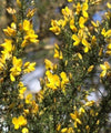 Gorse Hedging - Ulex europaeus - Trees by Post