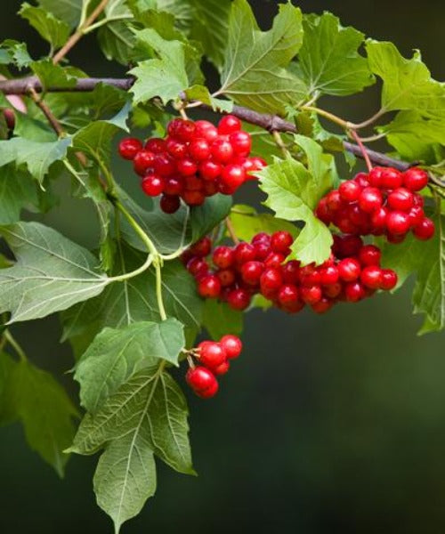 Guelder Rose -  Viburnum opulus - Trees by Post
