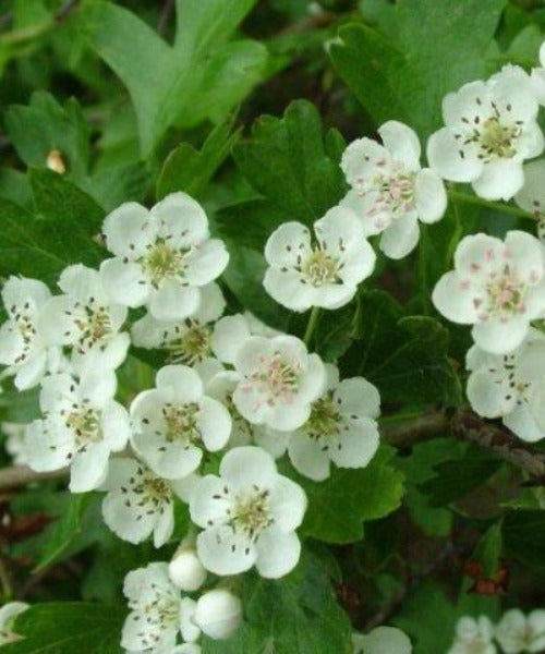 Hawthorn Hedging - Crataegus monogyna - Trees by Post