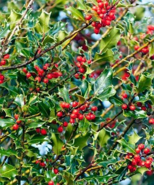 Holly Trees Hedging - Ilex aquifolium - Trees to Plant