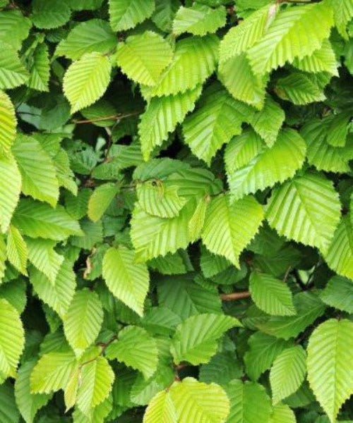 Hornbeam Hedging Trees - Carpinus betulus - Trees to Plant