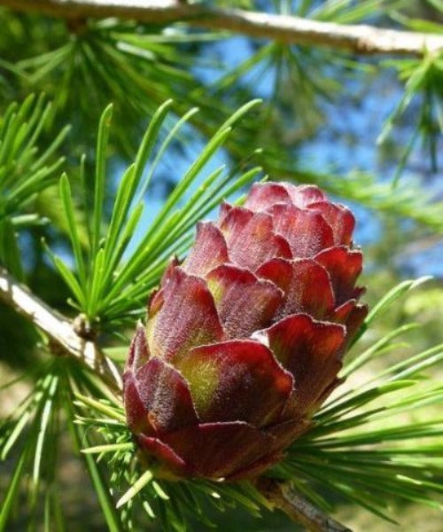 Hybrid Larch Trees - Larix eurolepis - Trees to Plant