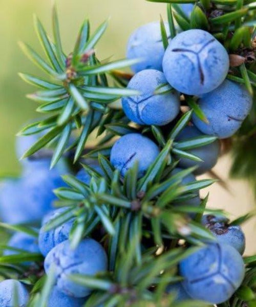 Juniper Trees - Juniperus communis - Trees to Plant