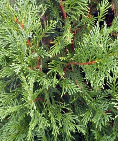 Leyland Cypress - Leylandii cupressocyparis - Trees to Plant
