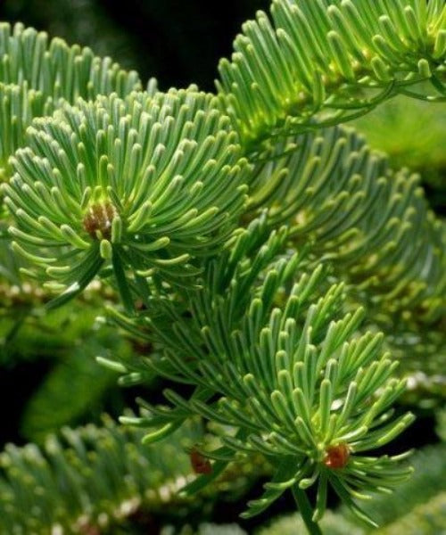 Nordmann Fir Trees - Abies nordmanniana - Trees by Post