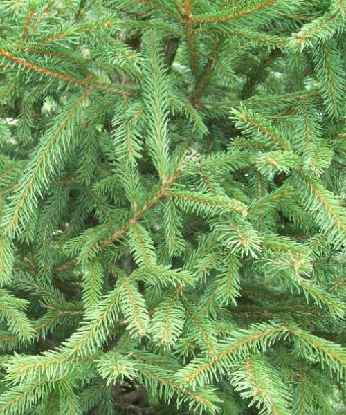 Norway Spruce Favour - Trees by Post