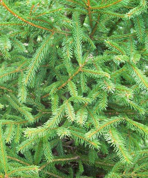 Norway Spruce Tree Gift
