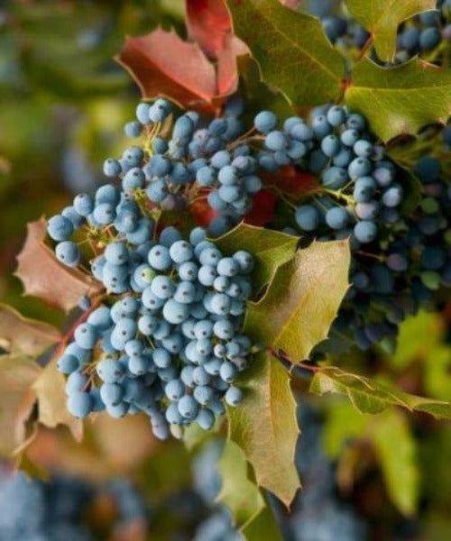 Oregon Grape - Mahonia aquifolium - Trees by Post