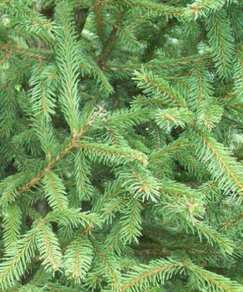 Norway Spruce Trees - Picea abies - Trees by Post