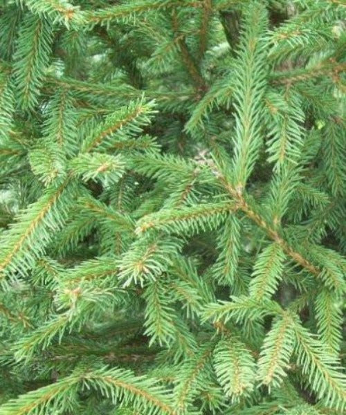Norway Spruce Trees - Picea abies - Trees to Plant