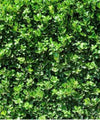 Privet Hedge - Ligustrum vulgare - Trees to Plant