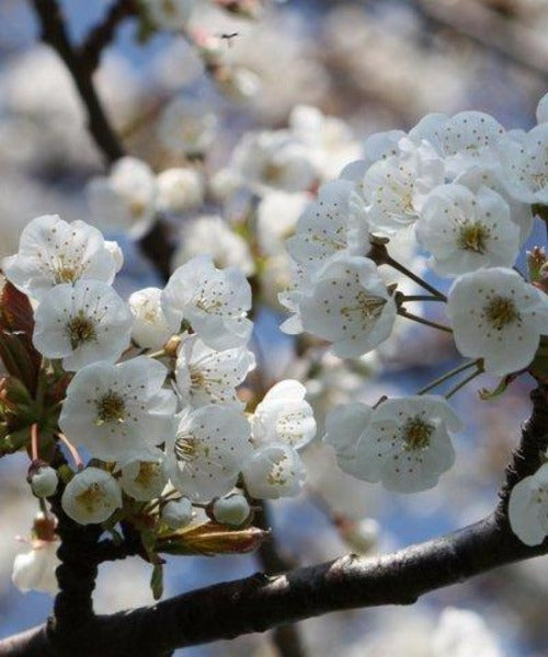 Wild Cherry Trees - Prunus avium - Trees by Post