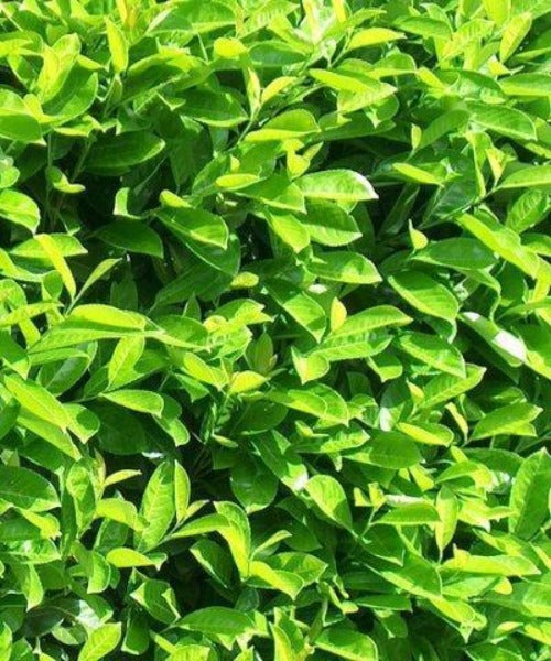 Cherry Laurel Hedging - Prunus laurocerasus - Trees by Post