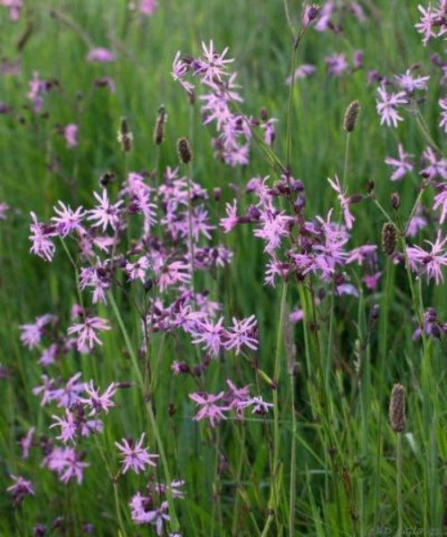 Ragged Robin - Lychnis flos-cuculi - Trees to Plant