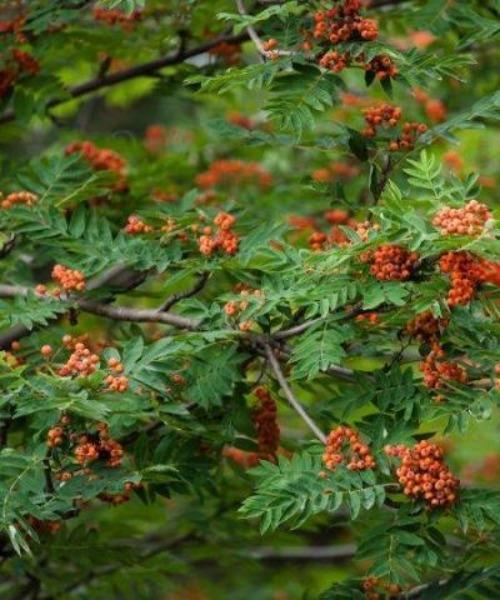 Rowan Trees - Sorbus aucuparia - Trees by Post