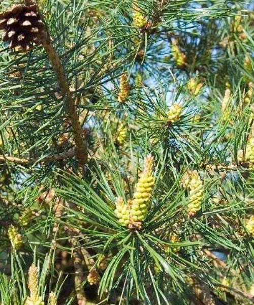 Scots Pine Trees - Pinus sylvestris - Trees by Post