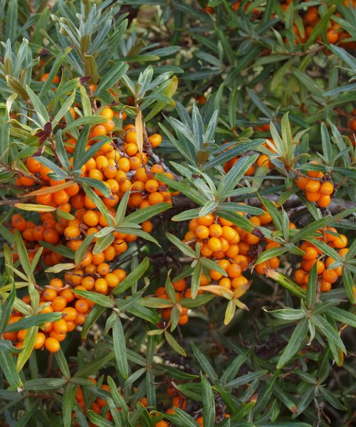 Sea Buckthorn - Hippophae rhamnoides - Trees by Post
