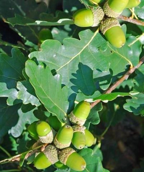 Sessile Oak Trees - Quercus petraea - Trees by Post