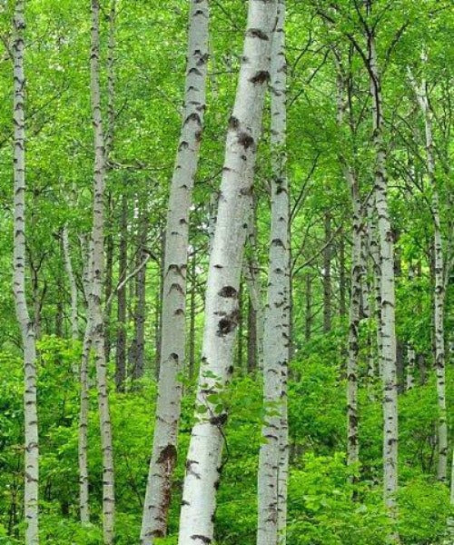 Silver Birch Trees - Betula pendula - Trees to Plant